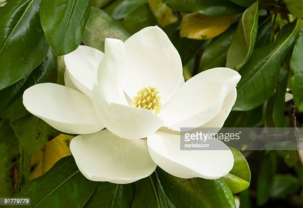 gentle magnolia - blossom stock pictures, royalty-free photos & images