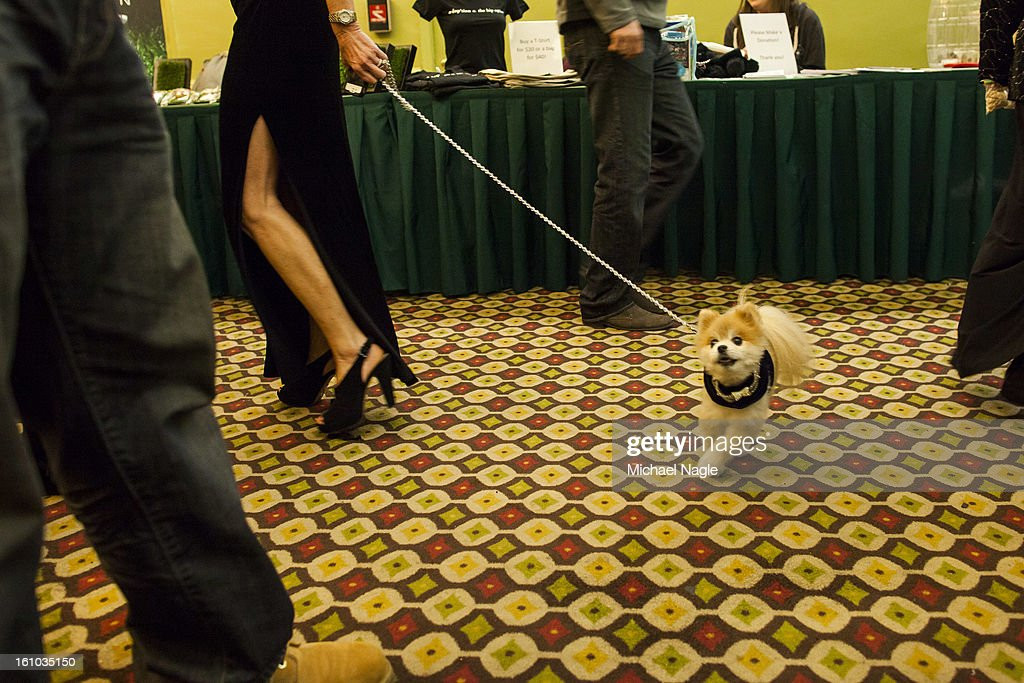 Gentleman Norman, of San Diego, is escorted past the red carpet at the New York Pet Fashion Show at Hotel Pennsylvania ahead of next week's Westminster Kennel Club Dog Show on February 08, 2013 in New York City. The Westminster Kennel Club Dog Show first held in 1877, is the second-longest continuously held sporting event in the U.S., second to the Kentucky Derby.