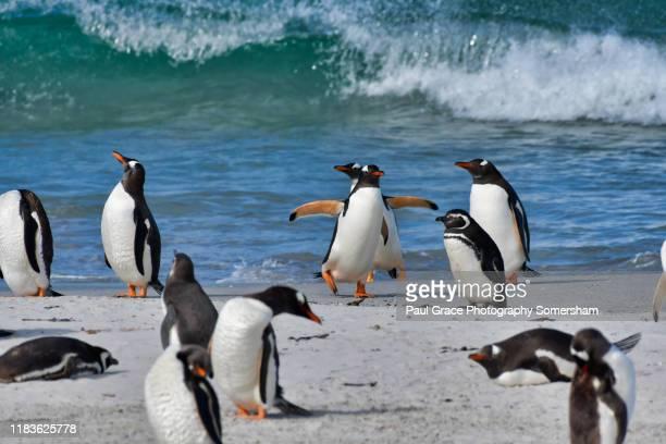 gentoo (pygoscelis papua) and magellanic (spheniscus magellanicus) penguin - island stock pictures, royalty-free photos & images