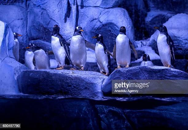 Gentoo cinsindeki souk iklim penguenleri Türkiye'de ilk kez stanbul Akvaryum'da ziyaretçileriyle bulutu Su altnda saatte 35 km hza ulaabilen Gentoo...
