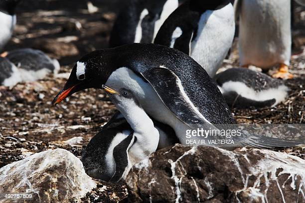 Gentoo penguin adult with its chick , Spheniscidae, north-east coast of Pebble Island, Falkland or Malvinas Islands .