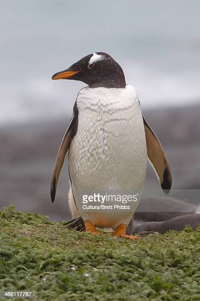 Gentoo penguin, along the north east coast of Macquarie Island, Southern Ocean