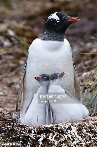 Gentoo penguin (Pygoscelis papua) and two chicks in nest