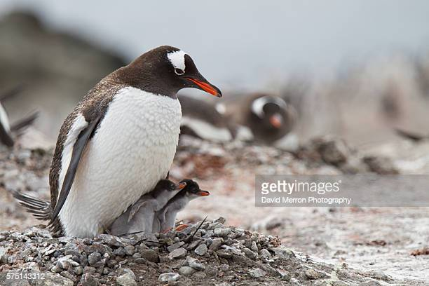 gentoo penguin antarctica - chinstrap penguin stock pictures, royalty-free photos & images