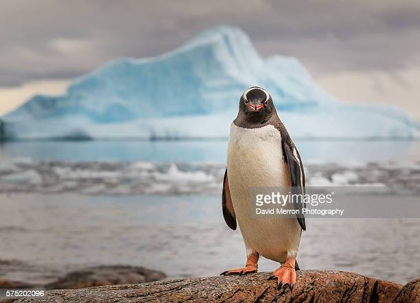 gentoo penguin antarctica - penguin stock pictures, royalty-free photos & images