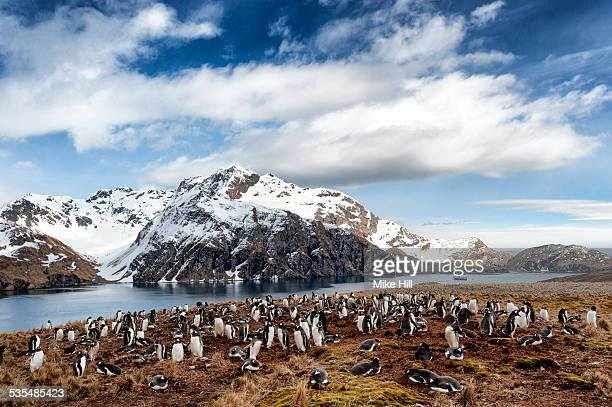 gentoo penguin breeding colony - rookery stock pictures, royalty-free photos & images