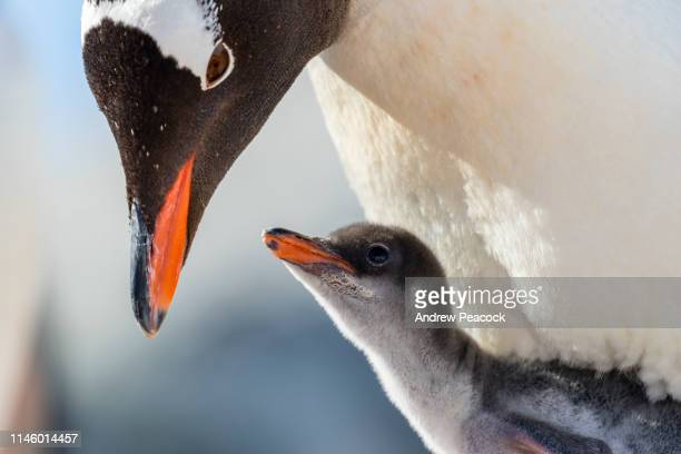 Gentoo penguin chick and parent
