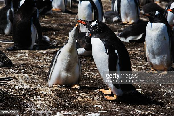 Gentoo penguin chick begging for food from one of its parents , Spheniscidae, east coast of Pebble Island, Falkland or Malvinas Islands .