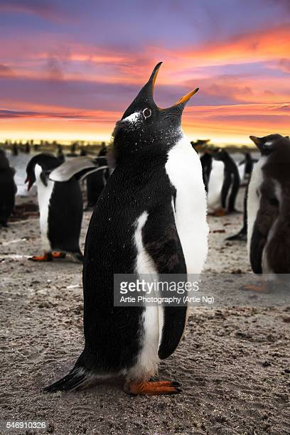 gentoo penguin chick calling, falkland islands (islas malvinas), british overseas territory - falklandinseln stock-fotos und bilder