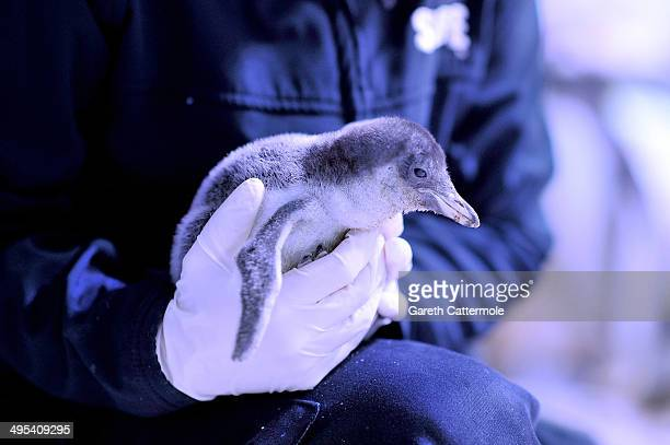 Gentoo Penguin chick is held before its weighed at The Sea Life London Aquarium on June 3 2014 in London England The SEA LIFE London Aquarium today...
