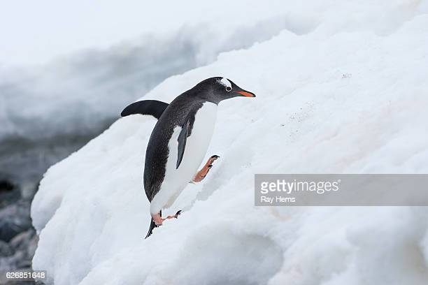 Gentoo penguin climbing on ice in Antarctica