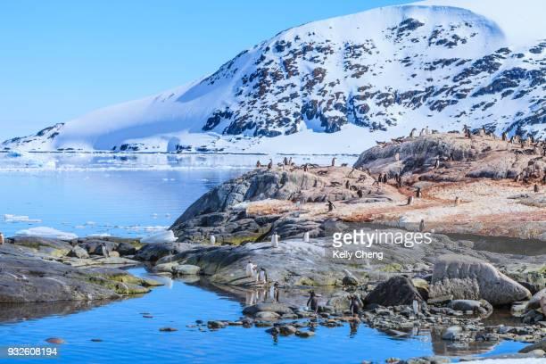 gentoo penguin colonies in antarctica - antarctic peninsula stock pictures, royalty-free photos & images