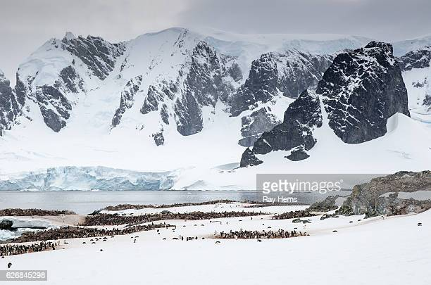 Gentoo Penguin colonies on Cuverville Island Antarctica