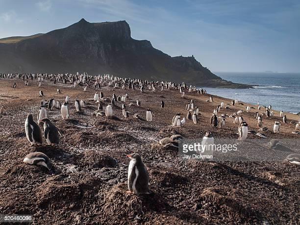 gentoo penguin colony on aitcho island - straat drake stockfoto's en -beelden
