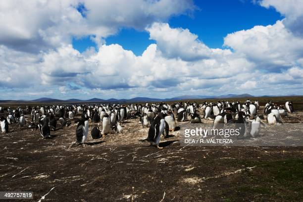 Gentoo penguin colony , Spheniscidae, north-east coast of Pebble Island, Falkland or Malvinas Islands .
