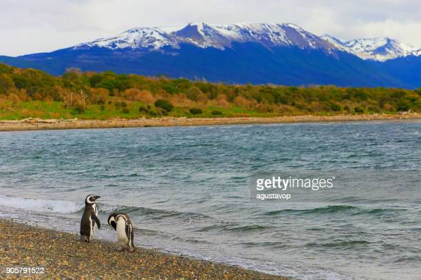 gentoo penguin couple along on a secluded beach, tierra del fuego, argentina – south america - king penguin stock pictures, royalty-free photos & images