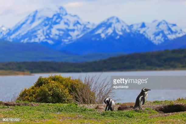 Ezelspinguïn paar op nest langs een afgelegen strand, Tierra Del fuego, Argentinië-Zuid-Amerika