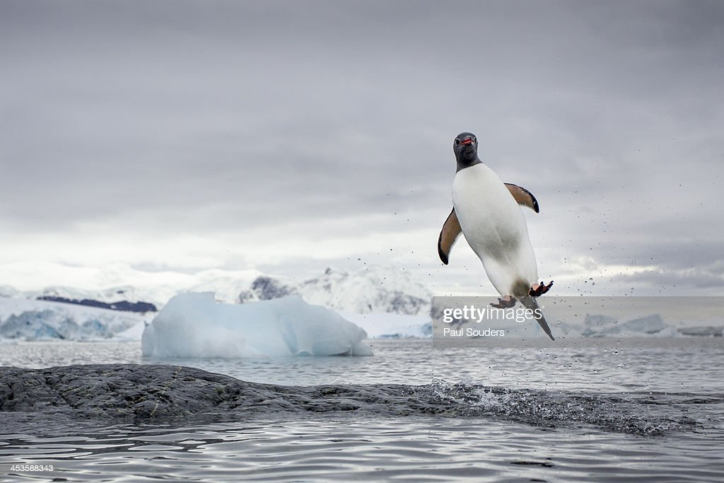 Antarctica, Cuverville Island, Gentoo Penguin (Pygoscelis papua) leaping from water toward rocky shoreline near rookery