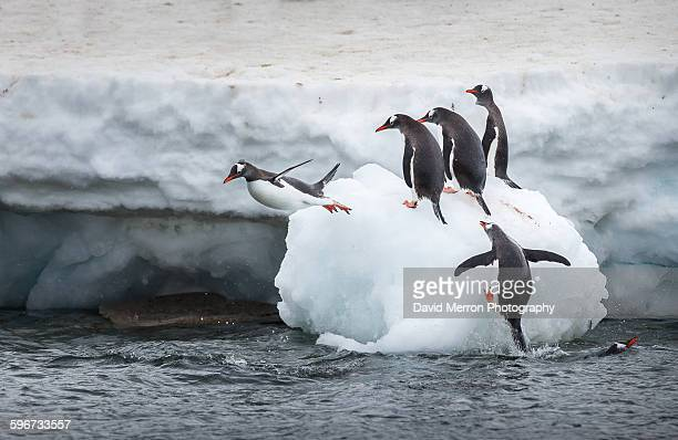 Gentoo penguin dive