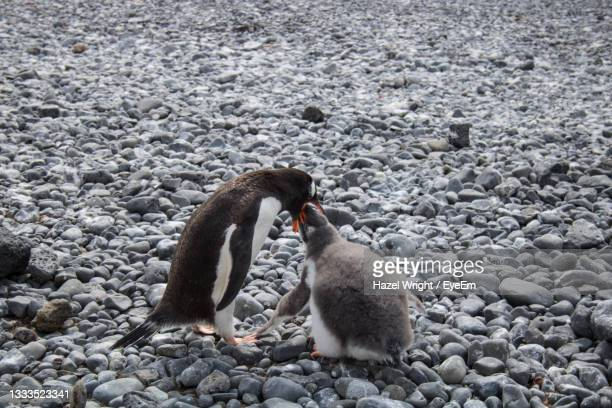 gentoo penguin feeding chick, in antarctica - antarctic sound stock pictures, royalty-free photos & images
