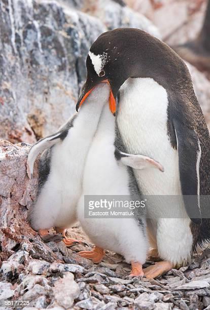 Gentoo penguin feeding chicks, Antarctic Pen.