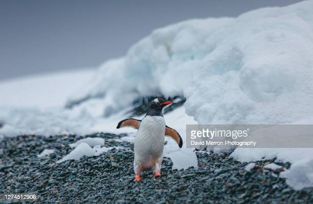 gentoo penguin in antarctica - antarctic sound stock pictures, royalty-free photos & images