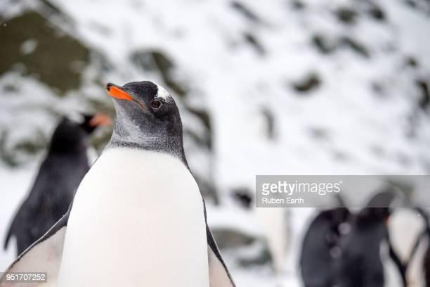 gentoo penguin in antarctica - schnabel stock-fotos und bilder