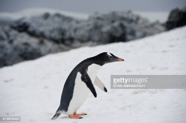 A Gentoo penguin in Orne Harbour in the western Antarctic peninsula on March 05 2016 Waddling over the rocks legions of penguins hurl themselves into...