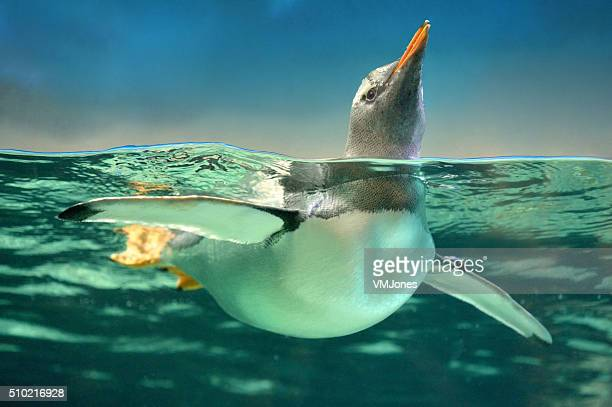 Pinguim-papu em água