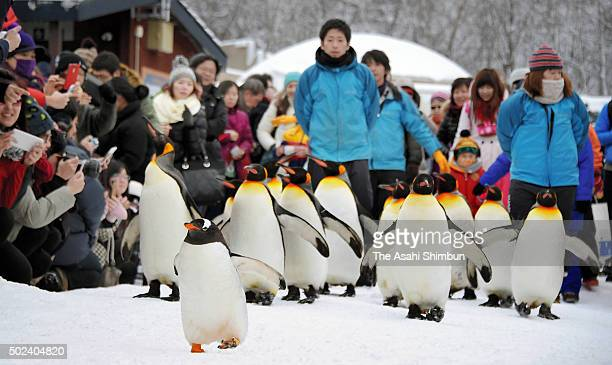 A Gentoo penguin leads King penguins during the stroll on the snow at Asahiyama Zoo on December 23 2015 in Asahikawa Hokkaido Japan The annual event...