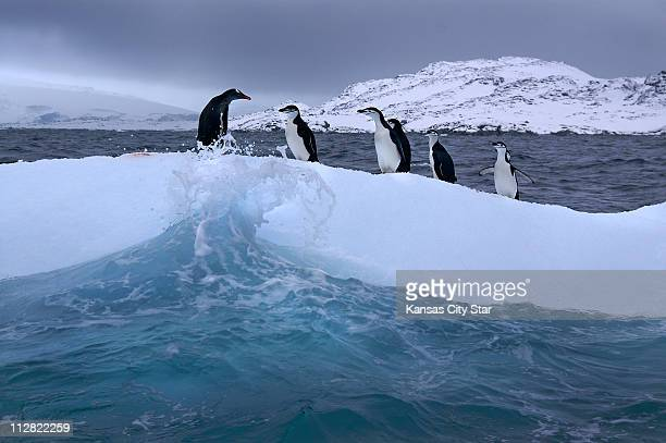 A gentoo penguin left stands with a gathering of chinstrap penguins resting on an ice floe in the Southern Ocean off the Antarctic Peninsula