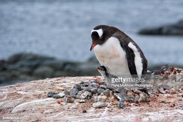 Gentoo Penguin Mother And Chick In Antarctica