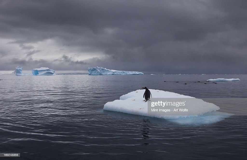 Gentoo penguin on an iceberg, Antarctica : Stock Photo