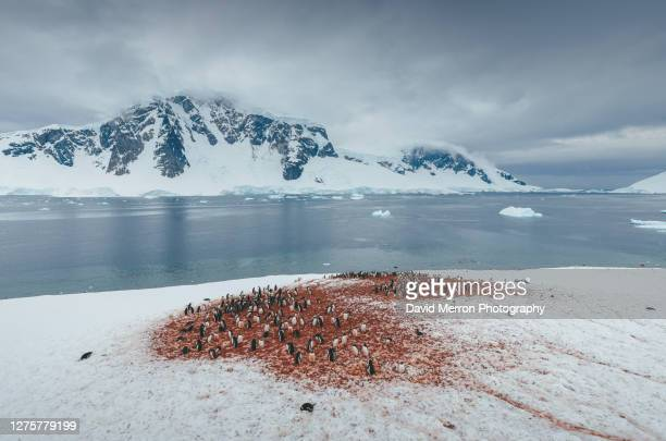 gentoo penguin on island in antarctica - antarctic sound stock pictures, royalty-free photos & images
