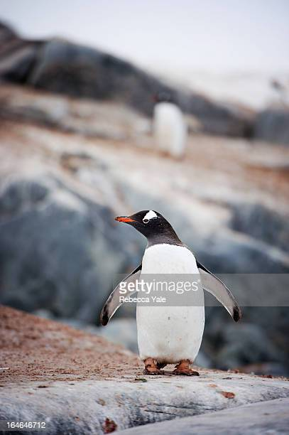 Gentoo Penguin on Rocks