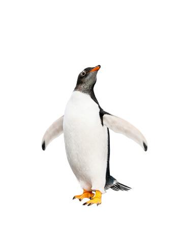 gentoo penguin over white background 186308897