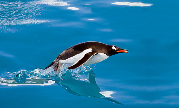 Gentoo penguin porpoising through the sea