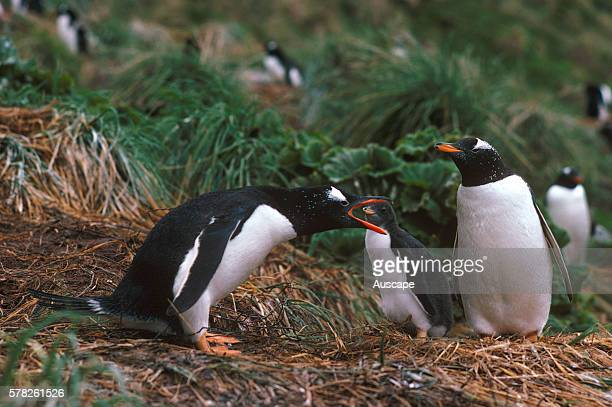 Gentoo penguin Pygoscelis papua protecting its nest Macquarie Island Sub Antarctic administered by Tasmania Australia