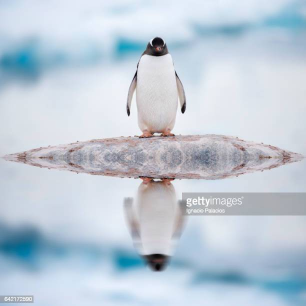 Gentoo penguin reflection, Cuverville Island