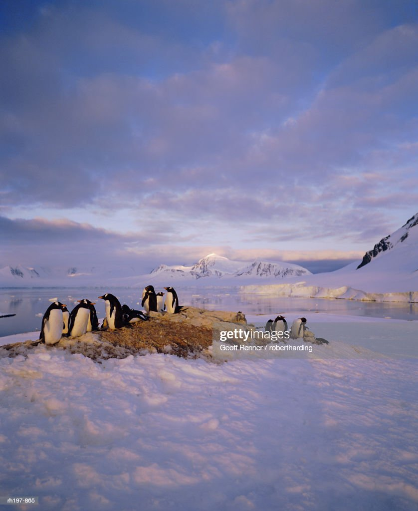 Gentoo penguin rookery, Antarctic Peninsula, Antarctica : Foto de stock