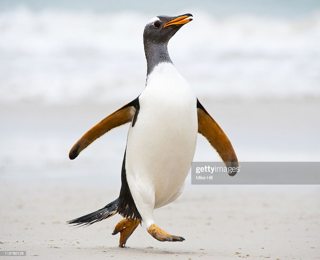 Gentoo penguin running on the beach : Stock Photo