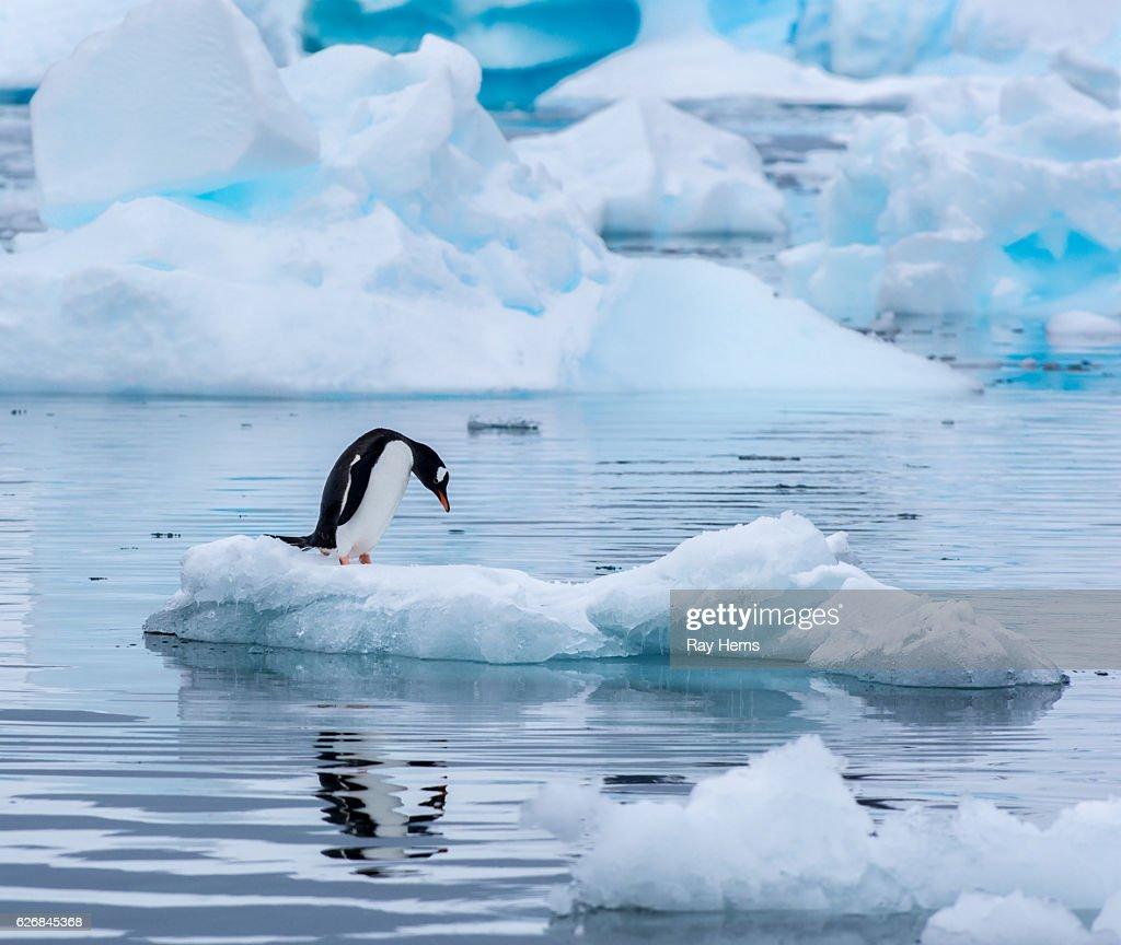 Gentoo penguin standing on an ice floe in Antarctica : Stock Photo