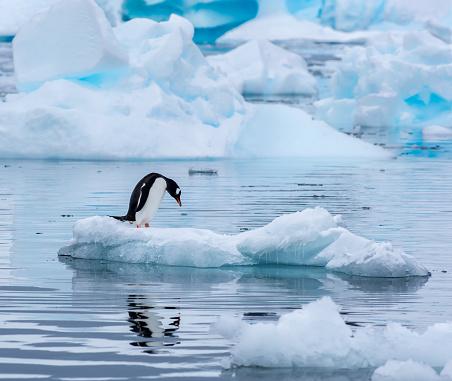 Gentoo penguin standing on an ice floe in Antarctica 626845368