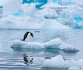 Gentoo penguin standing on an ice floe in Antarctica