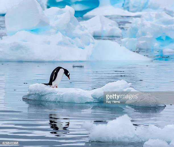 gentoo penguin standing on an ice floe in antarctica - ijsschots stockfoto's en -beelden
