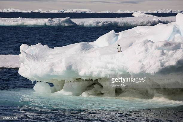 Gentoo penguin standing on an iceberg in Antarctica
