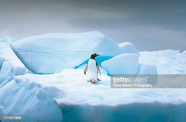 gentoo penguin stands alone on top of iceberg in antarctica - iceberg ice formation stock pictures, royalty-free photos & images