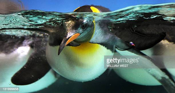 A Gentoo penguin swims in a pool at the Melbourne Aquarium on November 10 2011 The Aquarium was celebrating the arrival of its first subAntarctic...