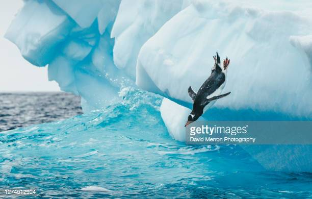 gentoo penguin takes a big dive into the cold antarctic ocean off of an iceberg. - antarctica stock pictures, royalty-free photos & images