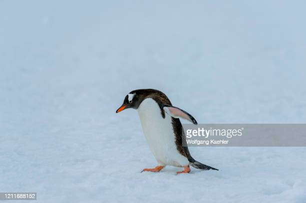 Gentoo penguin walking over snow at Yankee Harbor, Greenwich Island in the South Shetland Islands off the coast of Antarctica.